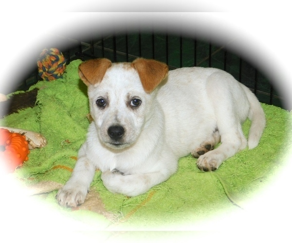 Medium Photo #1 Australian Cattle Dog-Jack Russell Terrier Mix Puppy For Sale in HAMMOND, IN, USA