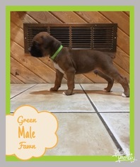 Boxer Puppy for sale in KILKENNY, MN, USA