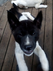 Akita Puppy For Sale in FREEPORT, NY, USA