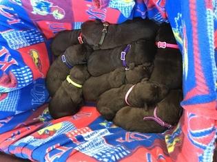 Labrador Retriever Puppy For Sale in OLATHE, KS, USA