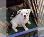 Small #8 Miniature Bulldog