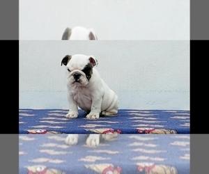 English Bulldog Puppy for Sale in AURORA, Colorado USA