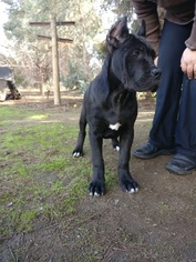 Cane Corso Puppy For Sale in PORTERVILLE, CA, USA