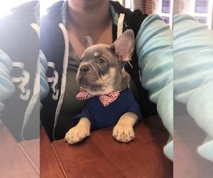 French Bulldog Puppy for Sale in CAPE CORAL, Florida USA