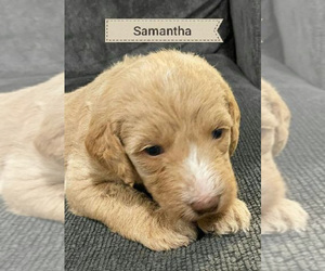 Labradoodle-Poodle (Standard) Mix Puppy for Sale in NEWVILLE, Pennsylvania USA