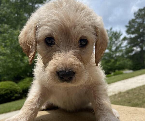 Medium Photo #4 Labradoodle Puppy For Sale in CHELSEA, AL, USA