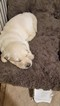 Golden Retriever Puppy For Sale in MEDINA, OH, USA