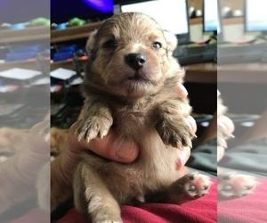 Pomeranian Puppy for sale in SWARTZ CREEK, MI, USA