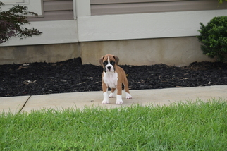 Boxer Puppy For Sale in WESTMINSTER, SC, USA