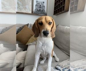 Beagle Dog for Adoption in WHITTIER, California USA