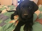 Labrador Retriever-Unknown Mix Puppy For Sale in GENTRY, AR, USA
