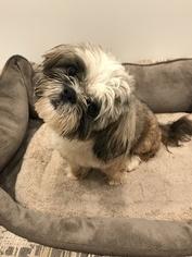 Shih Tzu Puppy For Sale in WILBRAHAM, MA, USA
