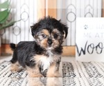 Victor Male Shorkie