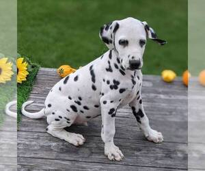 Dalmatian Puppy for sale in ARTHUR, IL, USA