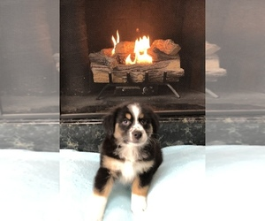 Miniature Australian Shepherd Dog for Adoption in CHESTERFIELD, Michigan USA