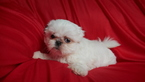 Shih Tzu Puppy For Sale in CUYAHOGA FALLS, OH, USA