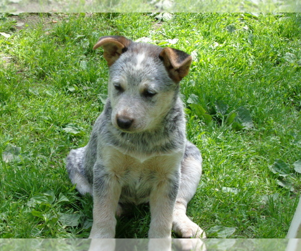 View Ad: Australian Cattle Dog-Belgian Malinois Mix Litter For Sale In Portugal