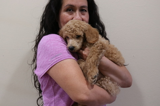 Poodle (Standard) Puppy For Sale in EAGLE MOUNTAIN, UT, USA
