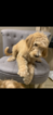 Small #2 Poodle (Standard)-Spinone Italiano Mix