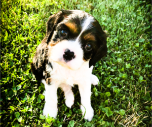 Cavalier King Charles Spaniel Puppy for sale in FREDERICKSBRG, PA, USA