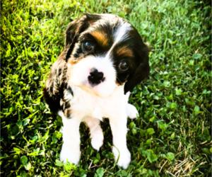 Cavalier King Charles Spaniel Puppy for Sale in FREDERICKSBRG, Pennsylvania USA