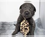 Puppy 13 Labrador Retriever