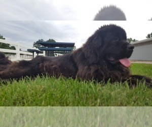 Mother of the Newfoundland puppies born on 03/22/2019