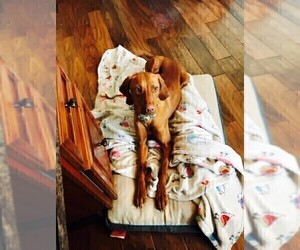 Mother of the Vizsla puppies born on 08/26/2019