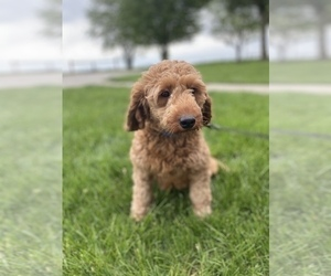 Mother of the Goldendoodle (Miniature) puppies born on 05/03/2021