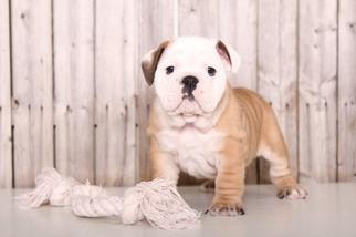View Ad English Bulldog Puppy For Sale Ohio Mount Vernon Usa