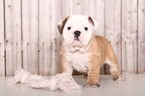 English Bulldog Puppy For Sale in MOUNT VERNON, OH, USA
