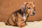 Dachshund Puppy For Sale in CAMBY, IN,