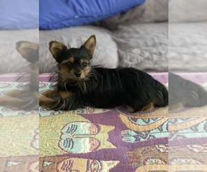 Father of the Chihuahua-Chorkie Mix puppies born on 07/24/2020