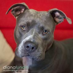 Bosco Boy - American Staffordshire Terrier Dog For Adoption