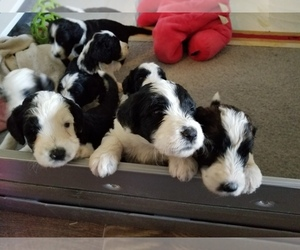 View Ad: Sheepadoodle Puppy for Sale near Arizona, GILBERT, USA  ADN