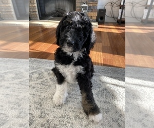 Bernedoodle Puppy for sale in GARRETTSVILLE, OH, USA