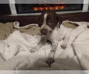 German Shorthaired Pointer Puppy for sale in HOME, PA, USA