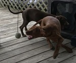 Small Photo #7 Vizsla-Weimaraner Mix Puppy For Sale in KILLEN, AL, USA