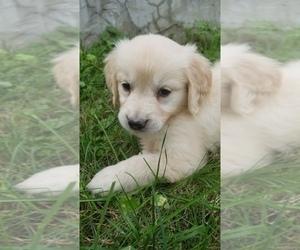 English Cream Golden Retriever Puppy for Sale in TORONTO, Ohio USA