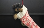Yorkshire Terrier Puppy For Sale in PORTSMOUTH, OH, USA