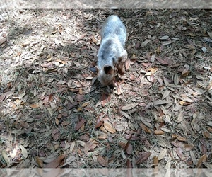 Yorkshire Terrier Dogs for adoption in DOUGLAS, GA, USA