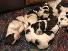 English Springer Spaniel Puppy For Sale in BOONVILLE, CA, USA