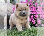 Puppy 6 Chow Chow