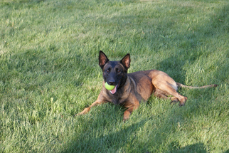 Belgian Malinois Dogs for adoption in SALT POINT, NY, USA