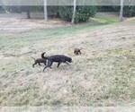 Small #6 Goldendoodle-Labrador Retriever Mix