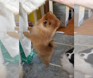 Pomeranian Puppy for Sale in AVON, Indiana USA