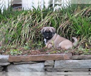 Jug Puppy for Sale in MOUNT SOLON, Virginia USA