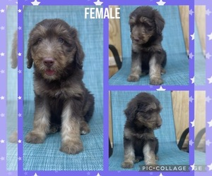 Aussiedoodle Puppy for sale in JACKSON, KY, USA