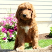 Goldendoodle-Poodle (Standard) Mix Puppy For Sale in GAP, Pennsylvania,