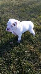 Boxer Puppy For Sale in HILLSVILLE, VA